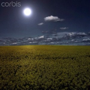 Field of flowers at night