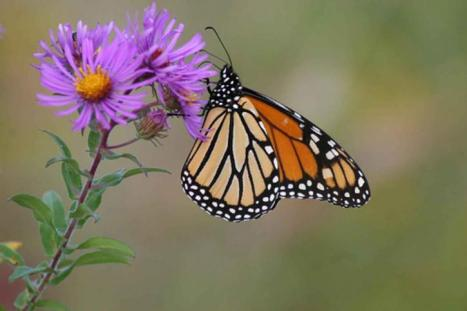 monarch-butterfly-on-new-england-aster-725x483