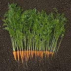145px-carrot_harvest
