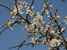 220px-Prunus_spinosa_130403